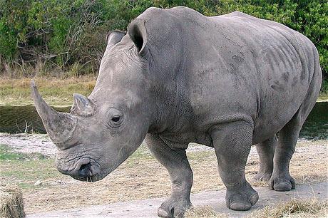 Tê giác