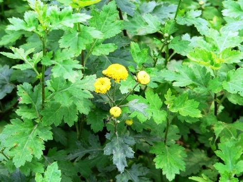cuc hoa Cúc hoa