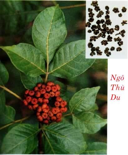 ngo-thu-du