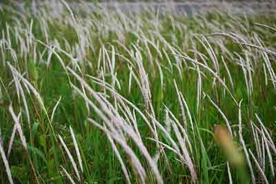 43cotranh Cây rễ cỏ tranh có tạc dụng lợi tiểu, mát gan