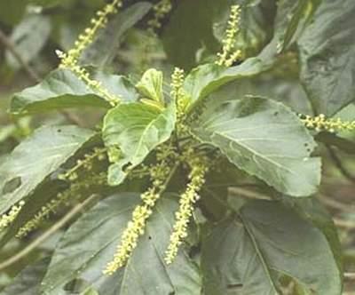 Bài thuốc hay từ rau mọi chữa bệnh táo bón