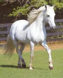 Cao ngựa bạch và những câu hỏi thường gặp