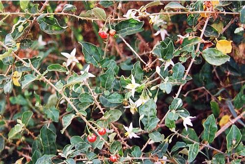 cay thuoc quy ca gai leo Tổng hợp các cây thuốc quý quanh ta (Phần 1)